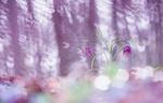 Обои Шахматный рябчик в весеннем лесу на размытом фоне