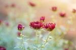 Обои Малиновые хризантемы на размытом фоне