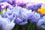 Обои Голубые весенние крокусы, by Alena Holtz