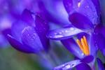 Обои Голубой крокус после дождя, фотограф Kimber Leigh