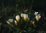Обои Бабочка на белом крокусе, фотограф Lana Belinsky