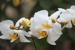 Обои Белая орхидея на размытом фоне