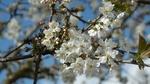 Обои Весенняя цветущая ветка вишни