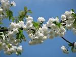 Обои Весенняя цветущая ветка