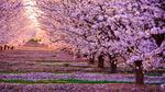 Обои Цветущий сад сакуры в Японии