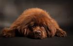 Обои Коричневый щенок ньюфаундленда лежит на темной поверхности