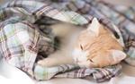 Обои Рыжий котенок дремлет, завернутый в клетчатый плед