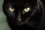 Обои Морда черного кота