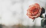Обои Роза на размытом фоне