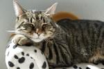 Обои Спящая серая кошка в полоску