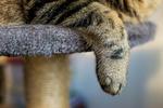 Обои Серая кошка в полоску свесила лапку