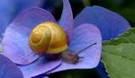 Обои Улитка на цветке гортензии