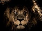Обои Взгляд африканского льва в камеру, из темноты, фотограф IanZA