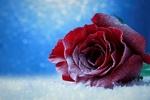 Обои Покрытая инеем роза лежит на снегу