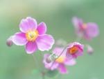 Обои Нежные розовые анемоны на размытом фоне