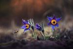 Обои Пчела у весенних цветов - сон - трава, фотограф Krasi St M
