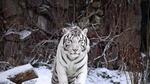 Обои Белый тигр под падающим снегом