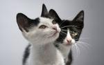 Обои Черно-белые котята на сером фоне