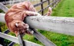 Обои Рыжий полосатый кот на заборе