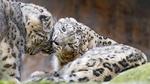 Обои Снежные барсы играют в заповеднике, by Tambako The Jaguar