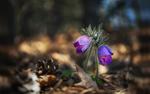 Обои Весенние цветы - сон - трава, фотограф Krasi St M