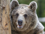 Обои Бурый медведь у дерева