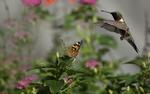 Обои Колибри и бабочка репейница среди цветов, фотограф Dan Ripplinger