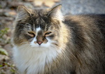 Обои Серая пушистая кошка, by Placi1