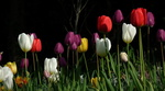 Обои Весенние тюльпаны разного цвета на черном фоне