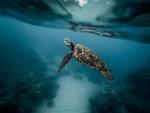 Обои Черепаха под водой