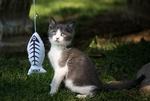 Обои Маленький серый с белым котенок играет с игрушечной рыбкой на фоне зеленой травы