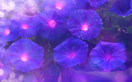 Синие цветки ипомеи / вьюна в каплях росы