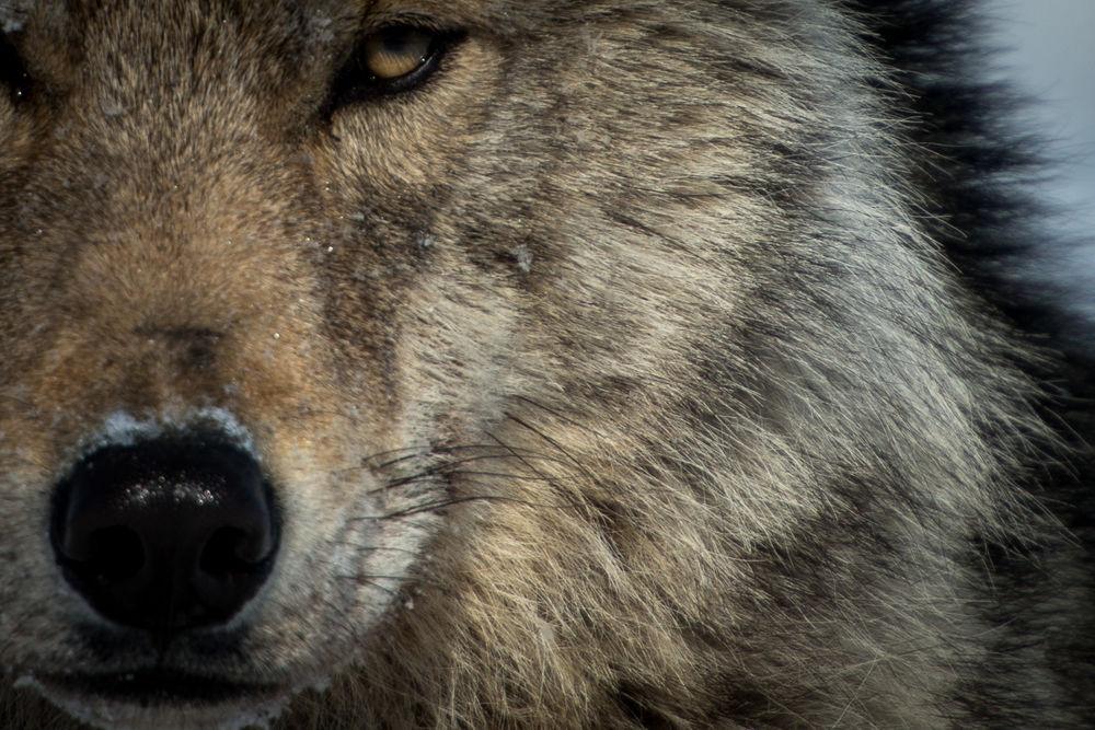 Обои для рабочего стола Морда волка крупным планом, фотограф Иван Кислов