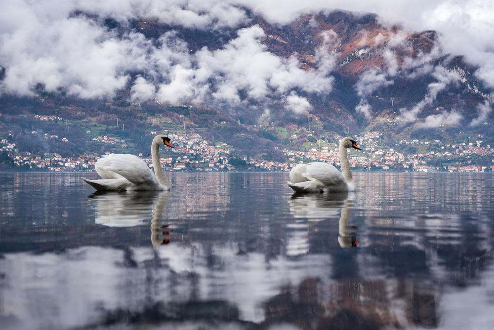 Обои для рабочего стола Дикие лебеди на воде. Фотограф Alexey Pashchenko