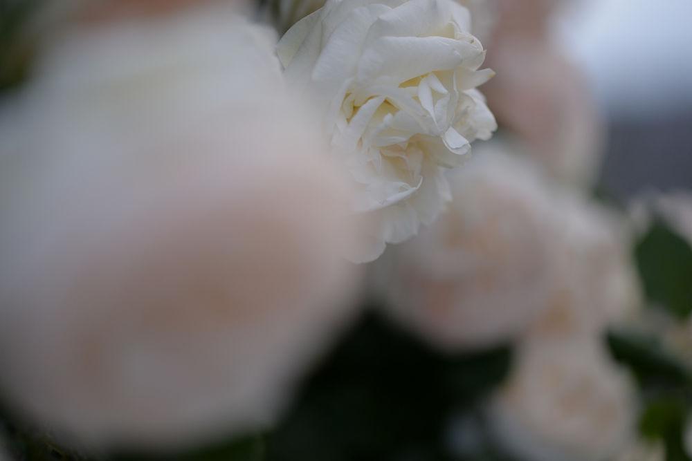 Обои для рабочего стола Белые розы на размытом фоне