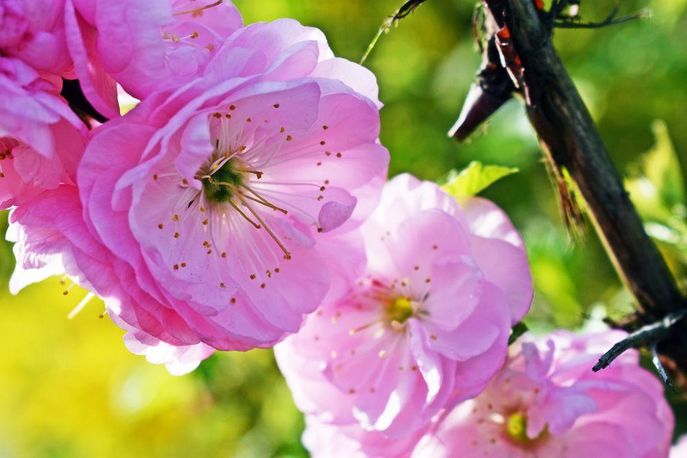 Обои для рабочего стола Цветущая весенняя ветка сакуры