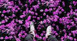 Обои Ноги парня над сиреневыми цветами