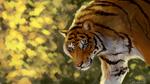 Обои Голубоглазый тигр на размытом фоне, by MineaAmanda