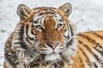 Обои Тигр стоит под падающим снегом и смотрит в камеру