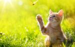 Обои Рыжий котенок тянется лапой к бабочке