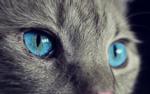 Обои Голубые глаза серой кошки, by Anja Osenberg