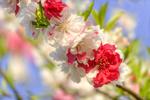 Обои Цветущая весенняя ветка