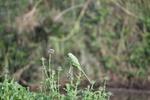 Обои Зеленый попугай сидит на цветке чертополоха, фотограф David Mahus