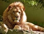Обои Лев отдыхает на бревенчатом помосте и смотрит в камеру, by skeeze