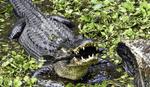 Обои Крокодил с темной спиной держит в пасти рыбу, фотограф Charles Patrick Ewing