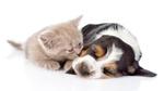 Обои Щенок бигля с британским котенком лежат, тесно прижавшись друг к другу