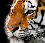 Обои Портрет амурского тигра, by Gerhard Gellinger