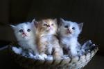 Обои Три котенка в плетеной тарелке, by Quang Nguyen vinh
