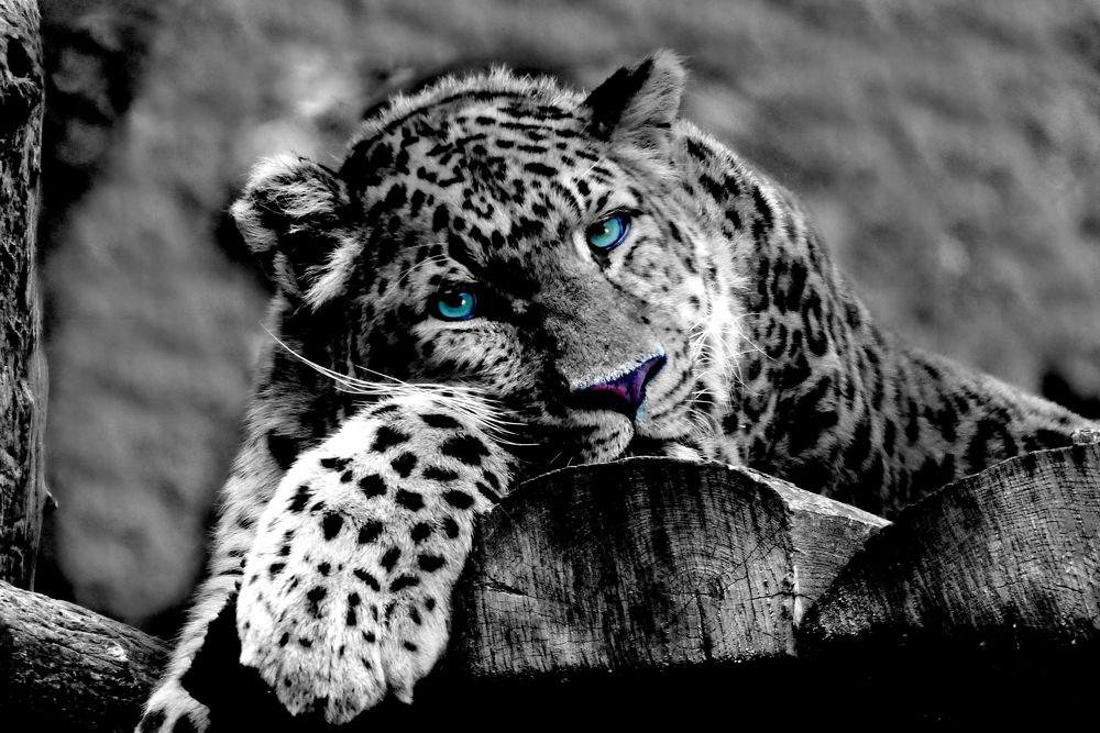 Обои для рабочего стола Леопард с голубыми глазами отдыхает на бревенчатом настиле, by Sabine