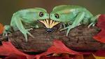 Обои Две лягушки пытаются съесть бабочку
